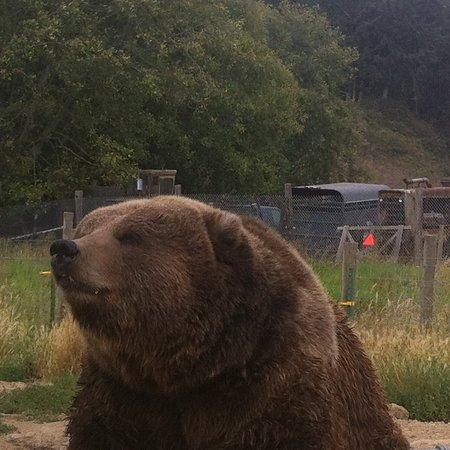 Sequim, WA: Close and personal Kodiac bear