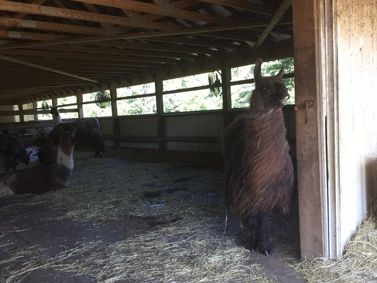 Dakota Ridge Farm: Llamas staying cool in the barn