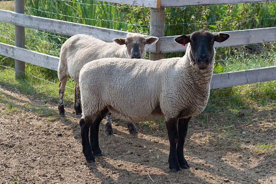 Lethbridge, Canada: Meet the sheep
