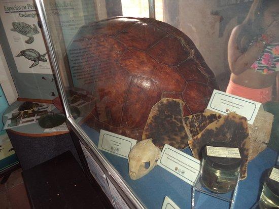 Museum of History: Partes de Tortugas Marinas