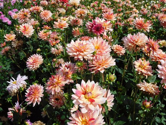 Canby, OR: Beautiful dahlias!