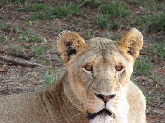 Modimolle (Nylstroom), แอฟริกาใต้: Lion