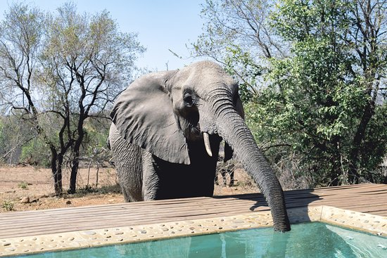 Leopard Hills Private Game Reserve, Νότια Αφρική: 11 elephants came to drink water from our pool!