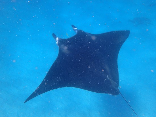 Coral Bay, Australien: Mantarays cruise right under us