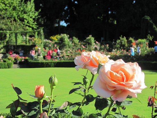 Butchart Gardens: la roseraie