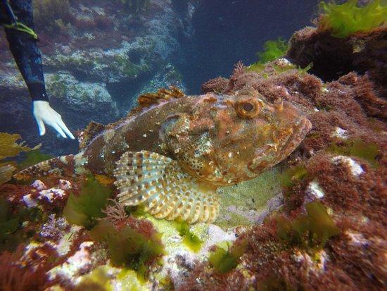 Tutukaka, Selandia Baru: Scorpion fish