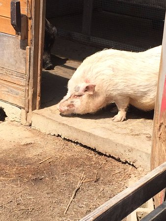German Forest Kronenberg: こんな可愛い豚ちゃんもいます。