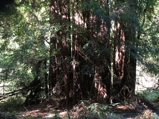 Mill Valley, CA: Giant redwoods