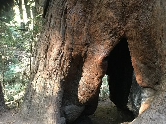 Mill Valley, CA: Magnificent old trees