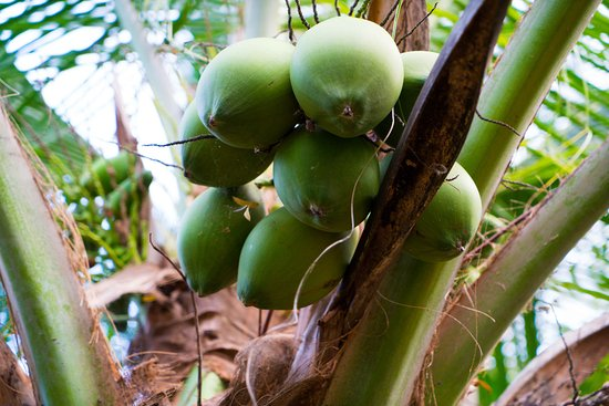 Balgue, Nikaragua: Fresh coconuts included with your stay!
