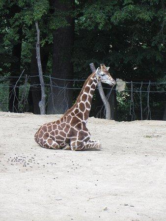 Zlin, Republika Czeska: Giraffe