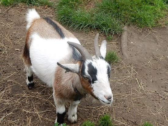 Farmborough, UK : Livestock at the B&B.....very cute goats