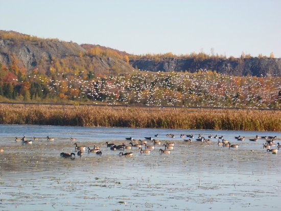 Danville, Canadá: Les outardes dans l eau et l envol des oies.