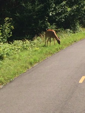 Parc Lineaire le P'tit Train du Nord : A deer on the path outside Mt Tremblant