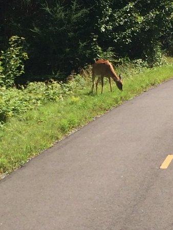 Parc Lineaire le P'tit Train du Nord: A deer on the path outside Mt Tremblant
