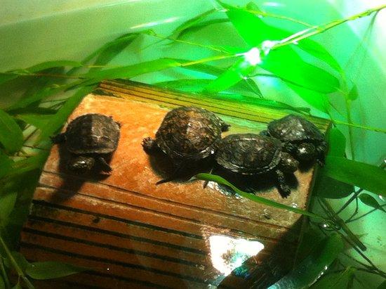 Le Blanc, Frankrike: Bébés tortues à l'infirmerie sous surveillance