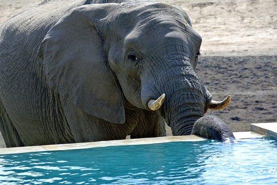Arathusa Safari Lodge : Elephant at the pool