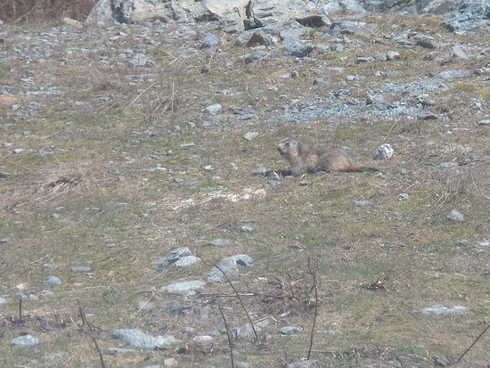 Isere, France: marmotte qui se laisse admirer