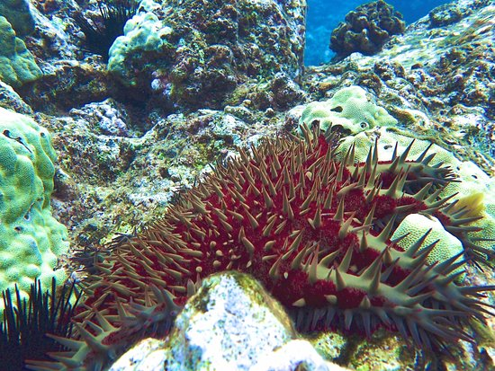 Hawaiian Paddle Sports : Crown of Thorns Sea Star