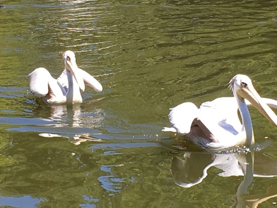 San Diego Zoo Safari Park: Pelicans trying to cool off -- assuming their wings are clipped to keep them here