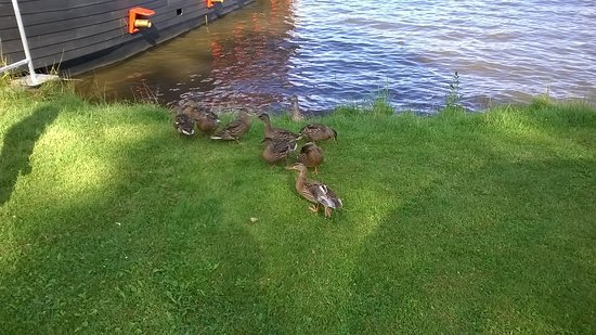 Eagle River, WI: Ducks hanging out on the shoreline where pirate boat is docked