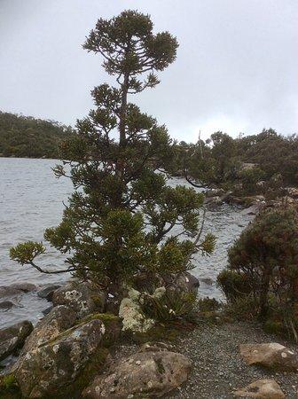 Huonville, Australia: King Bill Pine at Lake Osbourne