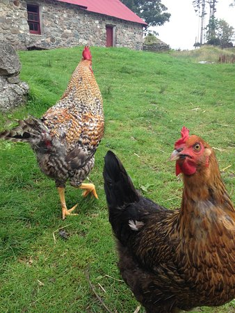 Auchindrain Highland Farm Township: chickens