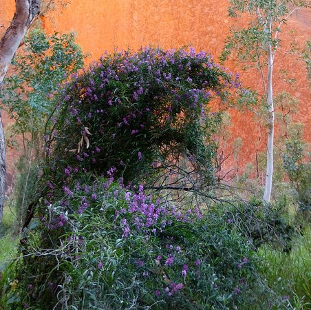 Yulara, أستراليا: The wild flowers were amazing.
