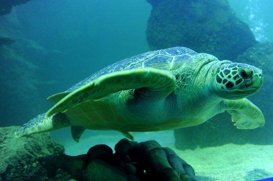 SEA LIFE Timmendorfer Strand: Grüne Meeresschildkröte