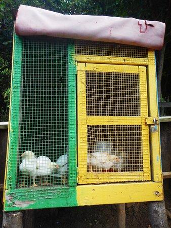 Crochu, Grenada: Chickens
