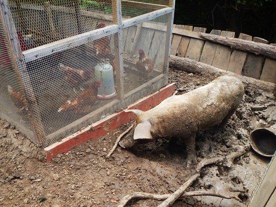 Spice Island Petting Zoo : The main hog