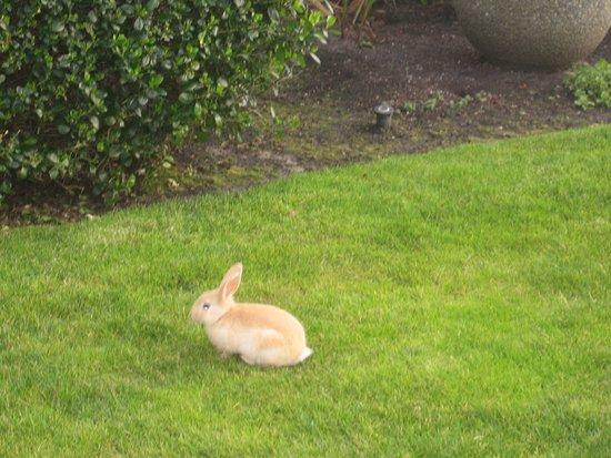 Stephanie Inn: Cute rabbit on lawn of hotel