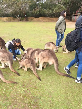 Taranna, Australië: Kangaroo and Pademelon feeding time