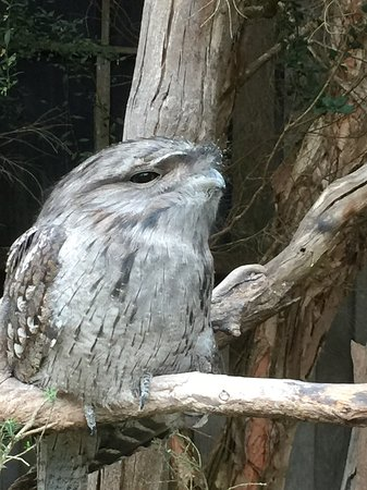Taranna, Australië: A Tawny Frogmouth, injured it's wing and now a permanent resident