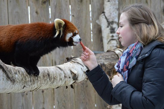 Red Panda Encounter at the Utica Zoo