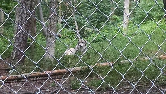 Columbia, NJ: One of Wolves at Preserve