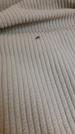 Motel 6 Ontario OR: Bedbug on the bed