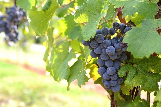 Barboursville, VA: grapes