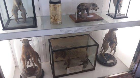 Hunterian Museum : A bizarre collection of 'Siamese twins' animals!