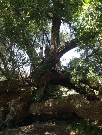 Caliente, Californien: Climbing trees in the meadow