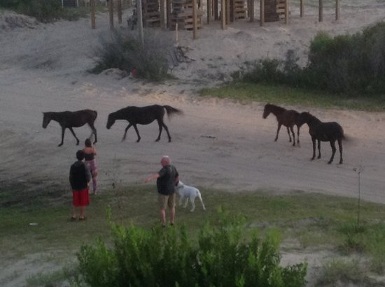 Carova, NC: Horses meet family while going for an evening walk