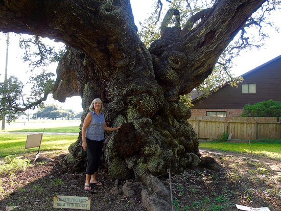 Largest Live Oak In Texas Columbus All You Need To