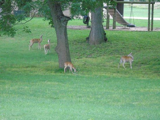 Columbus, TX: Deer roam freely 24 hours a day . . .