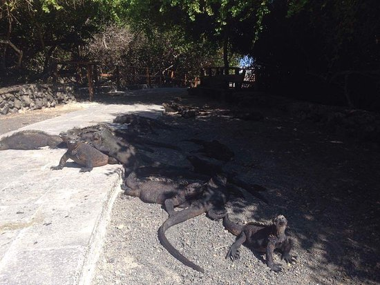 Puerto Villamil, Ecuador: Iguanas por el camino