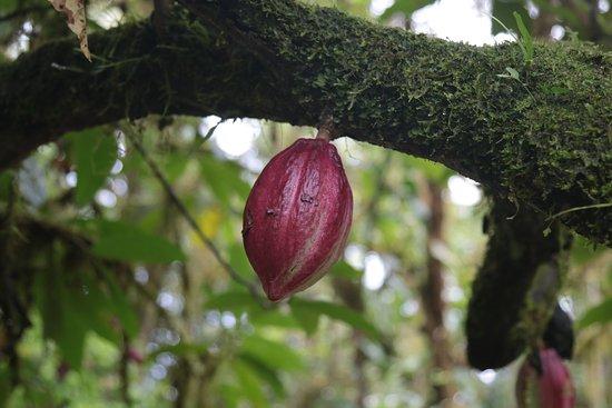 Drake Bay, Costa Rica: fruta de cacao