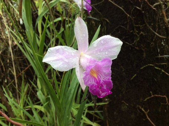 Garden of the Sleeping Giant: A native orchid