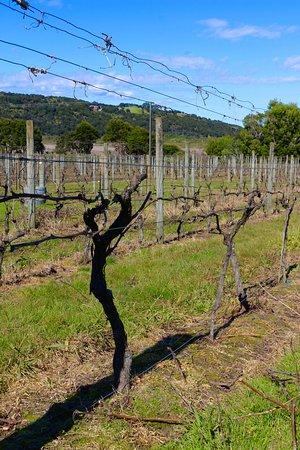 Waiheke-eiland, Nieuw-Zeeland: The vineyards at Passage Rock.