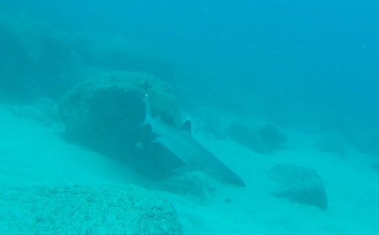 Kalaheo, HI: White Tip reef Shark