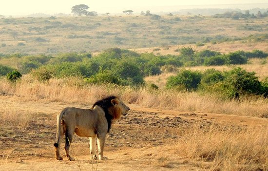 Lion Trails Safaris - Day Tours: We spent 30 minutes watching this incredible lion!
