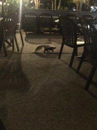 skunk in outdoor patio @ Pier House (regular visitors)
